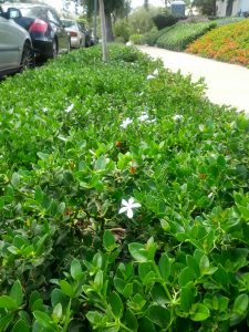dwarf natal plum (Carissa grandiflora 'Tuttlei')