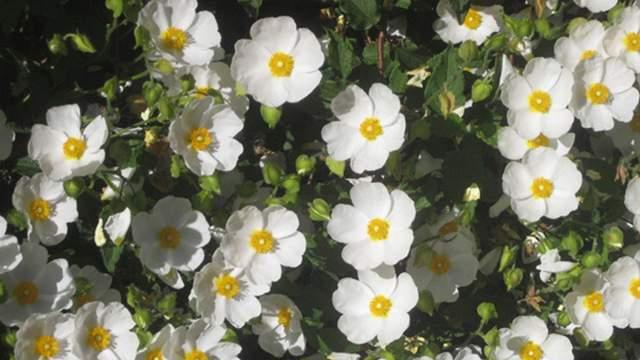 White Rock Rose Cistus Hybridus
