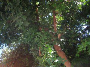 carob tree (Ceratonia siliqua)