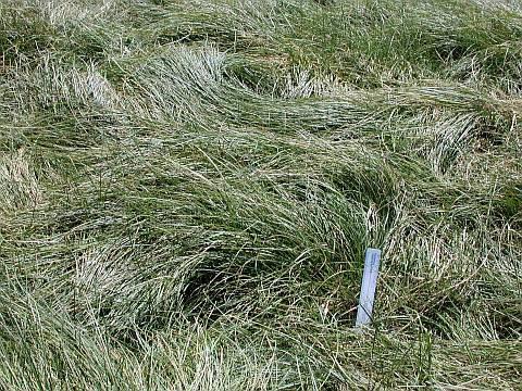Lawn Substitute California Meadow Sedge The Smarter Gardener