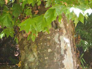 California sycamore (Platanus racemosa)