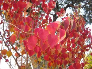 Chinese tallow tree (Sapium sebiferum)