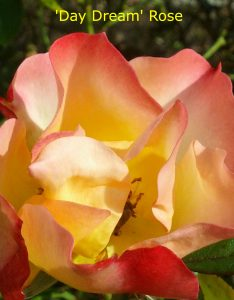 'Day Dream' rose