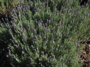 French lavender (Lavandula dentata)