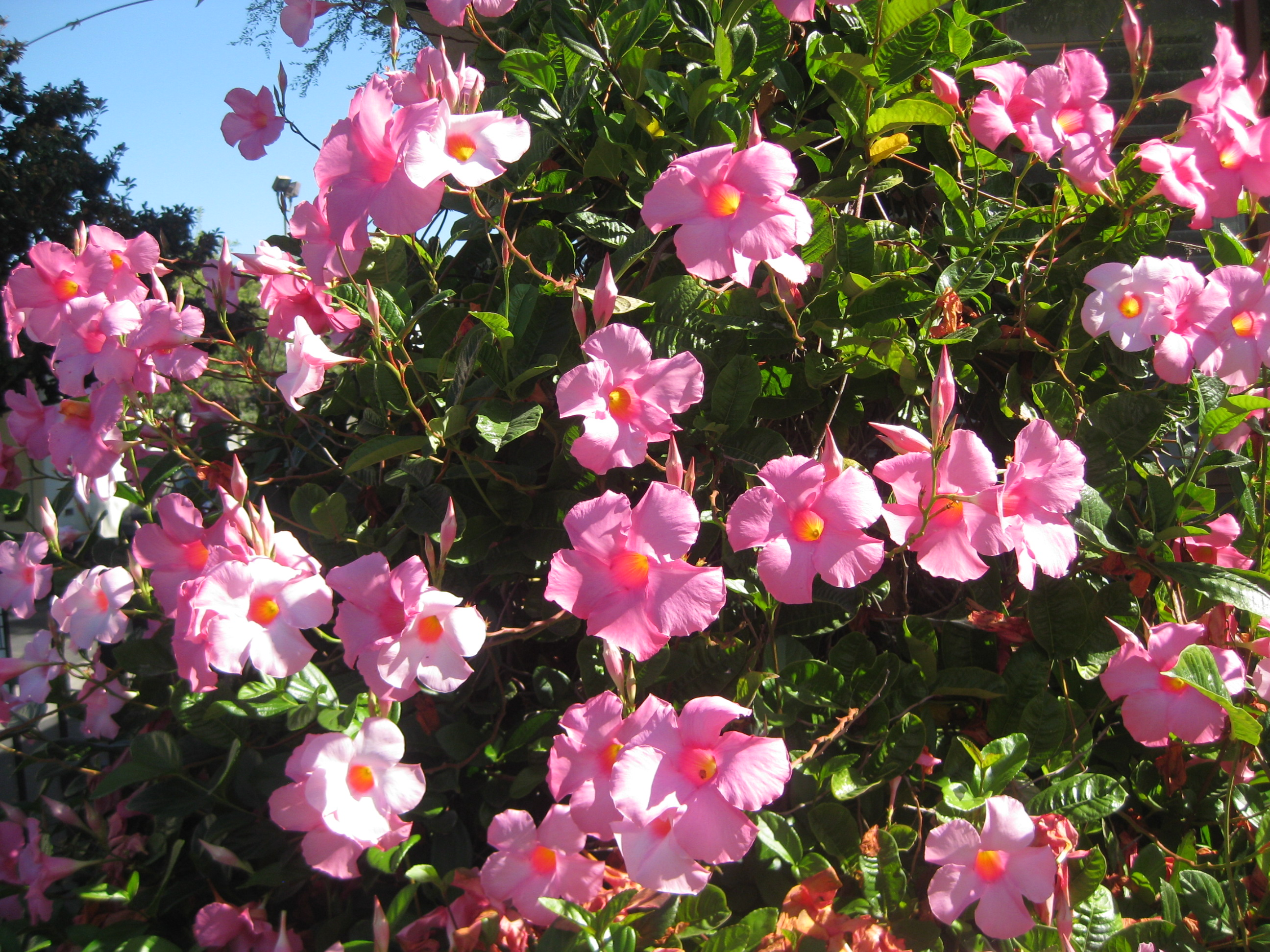 Mandevilla Among Other Colorful Delights The Smarter Gardener