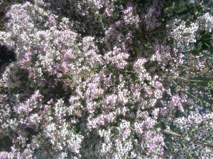 Scotch heather (Erica canaliculata 'Rosea')