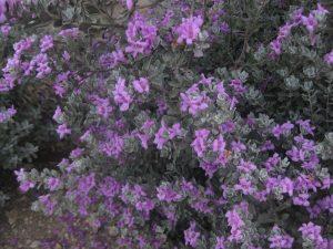 Texas Ranger (Leucophyllum frutescens)