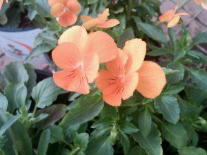 Viola 'Apricot Sorbet'