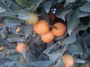 calamondin (Citrofortunella mitis)