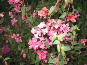 elegant clarkia or mountain garland  (Clarkia unguiculata)