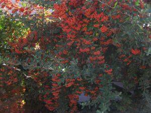 firethorn (Pyracantha coccinea)