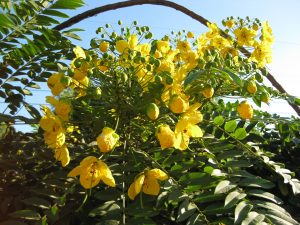 gold medallion tree (Cassia leptophylla)
