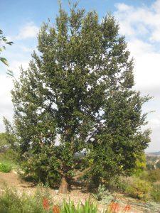 Island Oak- Quercus Tometella