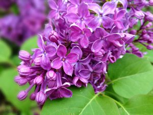lilac (Syringa vulgaris)  photo by Schoeband