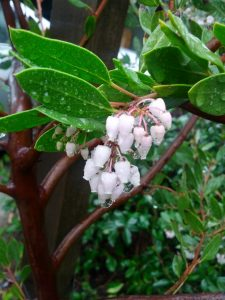 manzanita (Arctostaphylos sp.) with smooth, cinnamon bark