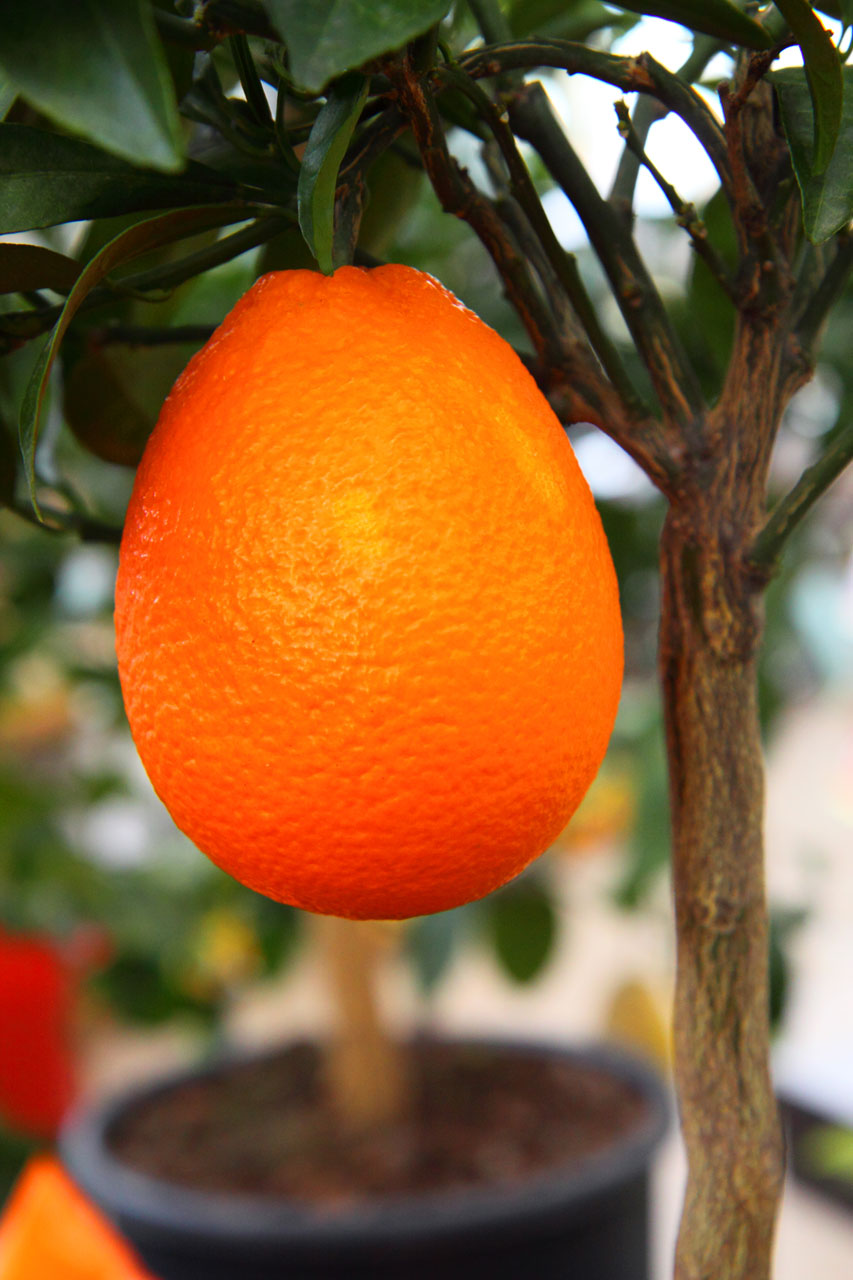 Citrus Are Best Fruit Trees For Los Angeles The Smarter