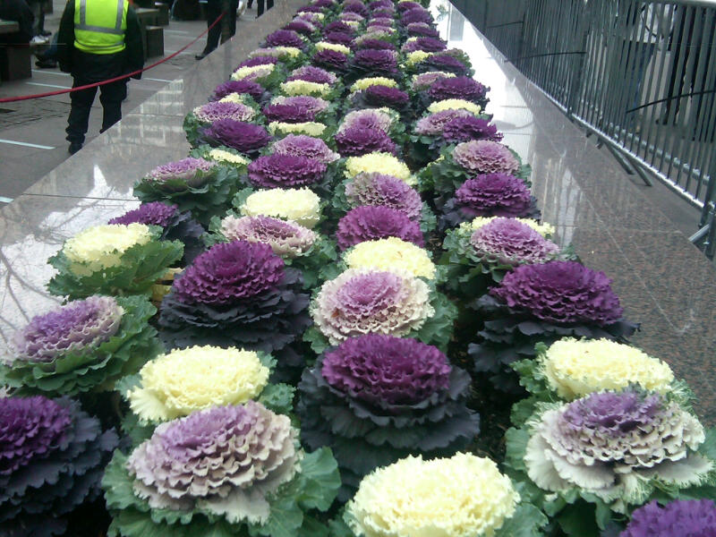 Glorious Ornamental Kale | The Smarter Gardener