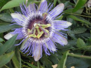 passion flower (Passiflora edulis)