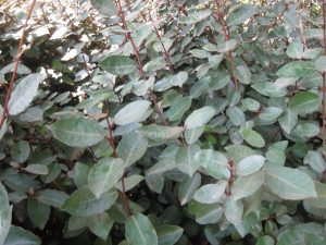silverberry (Elaeagnus pungens)
