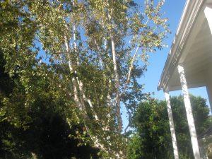 European white birch (Betula pendula)