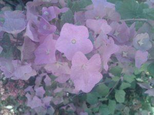 wild parasol plant (Karomia speciosa)