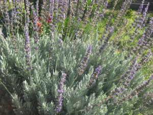 English lavender (Lavandula angustifolia) thriving in a community garden plot