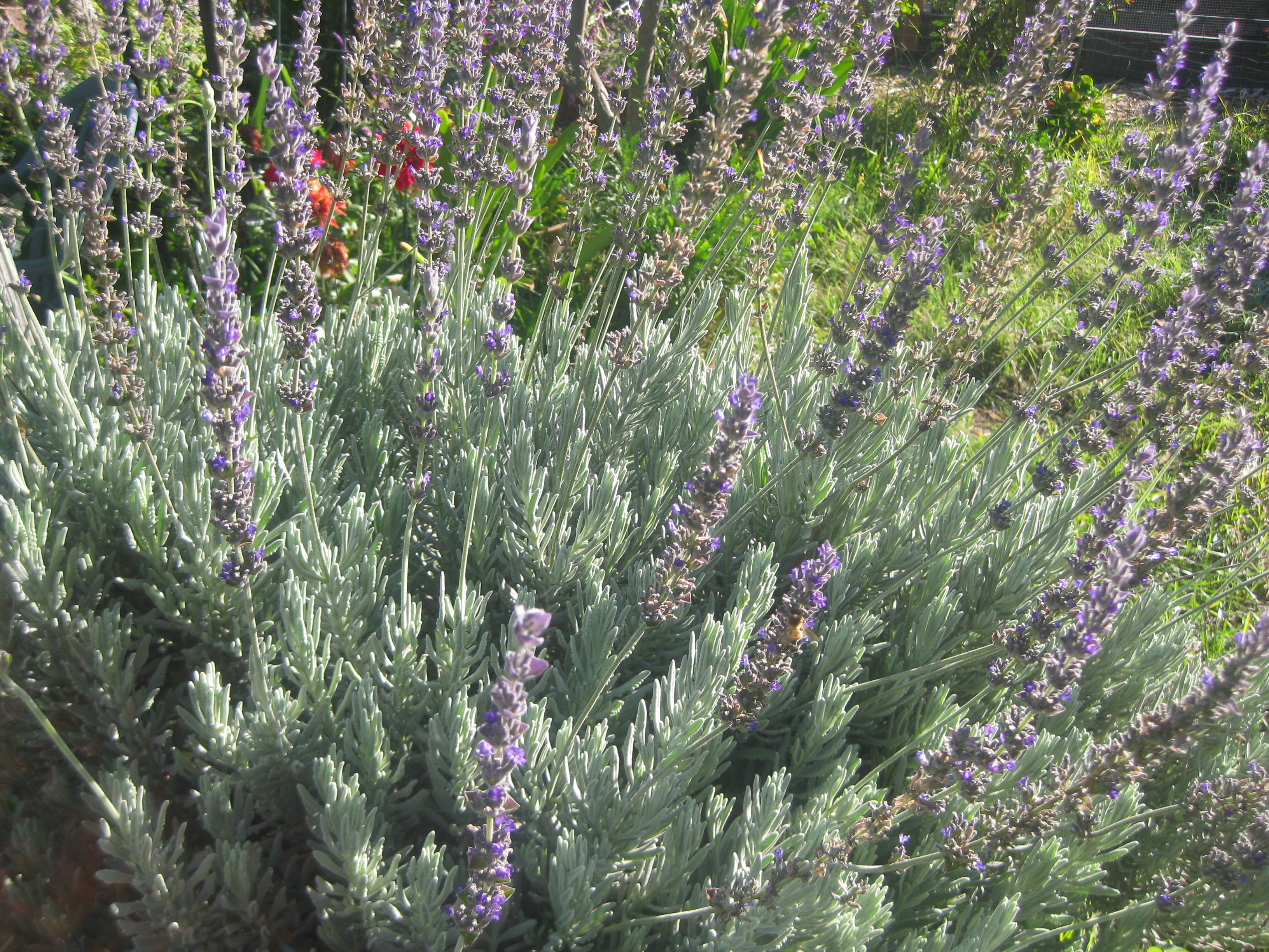 English French and Spanish Lavender Hardy and Fragrant The