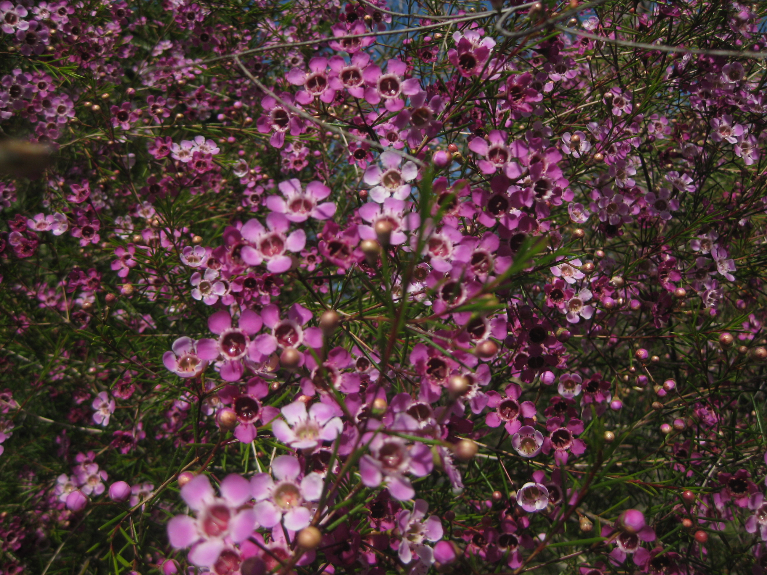 Geraldton Waxflower The Smarter Gardener