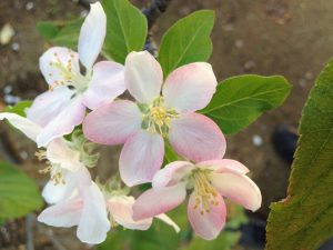 'Golden Dorsett' apple blossoms