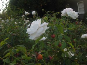 'Iceburg' roses and their fruits (rose hips)