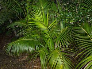 Kentia palm (Howea forsteriana) in Lord Howe Island habitat