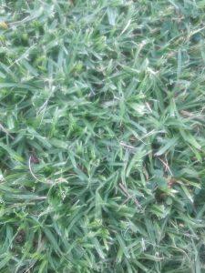 Kikuyu grass (Pennisetum clandestinum)