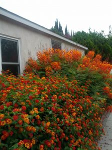 red bird of paradise (Caesalpinia pulcherrima) & orange lantana (Lantana camara)
