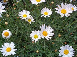Marguerite daisy (Agyranthemum frutescens)