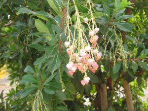Marina's strawberry tree (Arbutus marina)