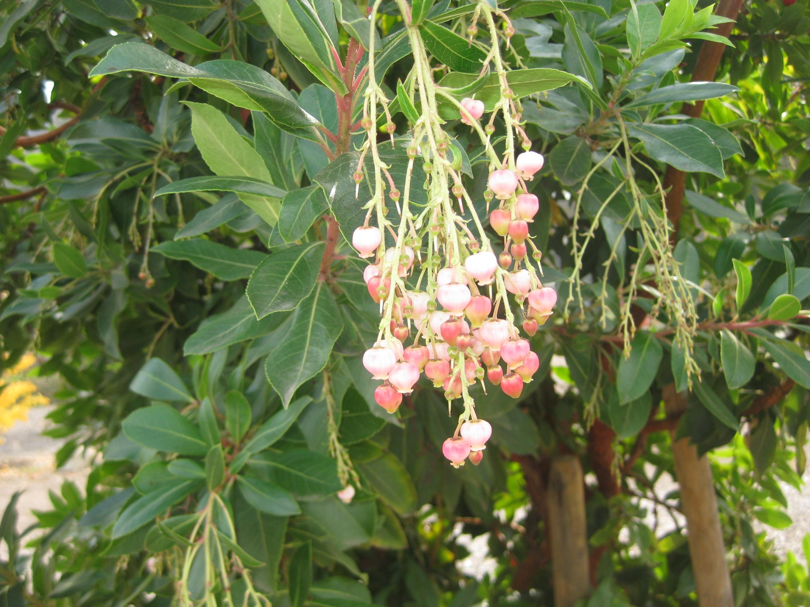 arbutus marina strawberry tree - photo #29