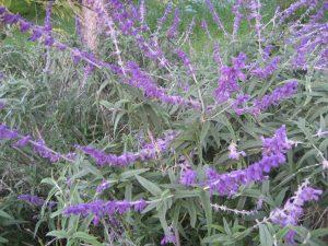 Meixcan sage (Salvia leucantha)