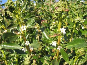 Myoporum laetum infested with thrips