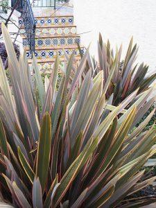New Zeland flax (Phormium tenax)