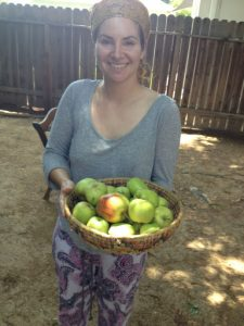 Sara Siskin's harvest of 'Golden Dorsett' apples