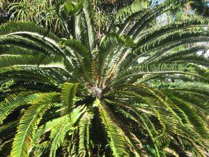 Wood's cycad (Encephalartos woodii)