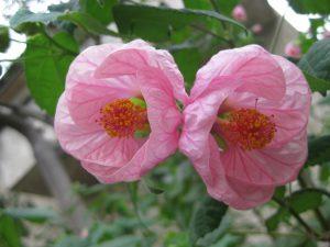 Chinese lnatern (Abutilon hybridum)