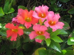 blood-red trumpet vine (Distictis buccinatoria)