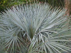 blue Mediterranean fan palm (Chamaerops humilis var. argentea)