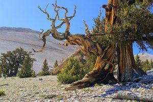 bristlecone pines (Pinus aristata)