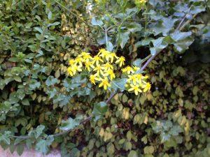 cape ivy (Delairea odorata)