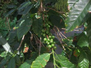 coffee plant (Coffea arabica)