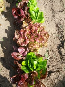 green and red looseleaf lettuce (Lactuca sativa)