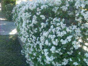 jade (Crassula ovata) hedge