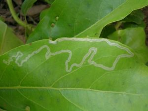 leafminer trail